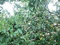 Kayısı ağaç.JPG