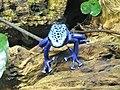 Ke - Dendrobates tinctorius azureus - 4.jpg