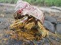 Kelomang, Cibunar, Taman Nasional Ujung Kulon, 11082014.jpg