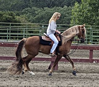 Kentucky Mountain Saddle Horse Breed of horse