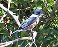 Kingfisher San Francisco 2 (14983197984).jpg