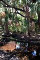Kissimmee Prairie Preserve State Park Florida - Kilpatrick Hammock Palms near pond.jpg
