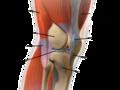 Knee anatomy (Fa).png