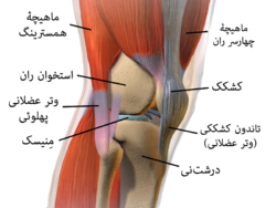 Knee anatomy (Fa).png