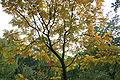 Koelreuteria paniculata JPG1H.jpg