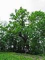 Koks Lašu pilskalnā - panoramio.jpg