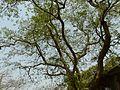 Kondajemudu (Telugu- కొండజెముడు) (2442914577).jpg