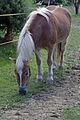 Konj Prosečka vas.jpg