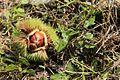 Korean chestnut (Castanea crenata).jpg