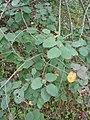 Korina 2010-09-08 Amelanchier alnifolia 1.jpg