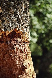 Trunk of a cork tree