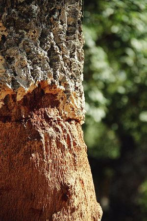 Los Alcornocales Natural Park - Trunk of a cork tree