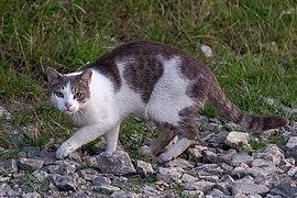 Kot domowy w Piekarach pod Krakowem, 20210707 0456 7907.jpg