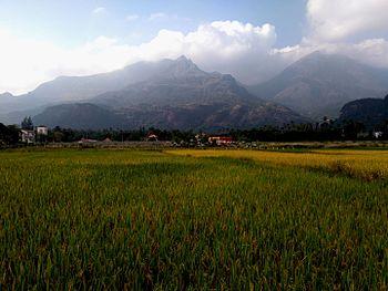 Kutralam paddy field.jpg