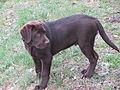 Labrador-b.jpg