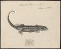 Lacerta stirpium - 1700-1880 - Print - Iconographia Zoologica - Special Collections University of Amsterdam - UBA01 IZ12400073.tif