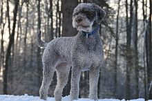 Lagotto im Winter.JPG