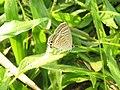 Lampides boeticus - Pea Blue at Aralam Wildlife sanctuary during Aralam butterfly survey 2020 (5).jpg