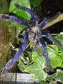 Lampropelma violaceopes 02.jpg