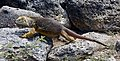 Land Iguana (47801607581).jpg