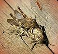 Langostas enamoradas (cópula) - llagosts enamorats - Egyptian locust in love (copulating) (2246729619).jpg