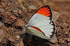 Large orange tip (Colotis antevippe exole) male.jpg