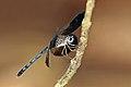 Large woodskimmer (Uracis fastigiata) male.jpg