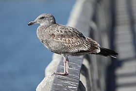 Larus occidentalis6.jpg