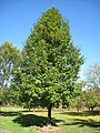 Lasdon Arboretum - Pyrus calleryana 'Cleveland Select' - IMG 1513.jpg