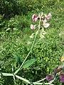 Lathyrus latifolius sl27.jpg