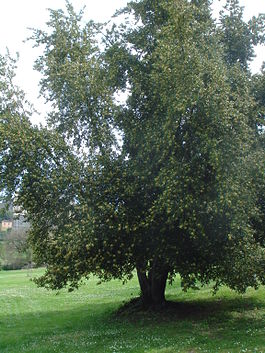 Laurus nobilis Laurel tree.jpg