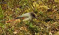 Lavskrika Siberian Jay (20356576551).jpg