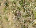 Le Conte's Sparrow, McCool's Pond, Indiana, September 29, 2012 (8039553657).jpg
