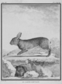 Le Lapin sauvage - Wild Rabbit - Oryctolagus cuniculus - Gallica - ark 12148-btv1b2300253d-f52.png