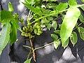 Leaf galls-2-muluvi-yercaud-salem-India.jpg