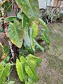 Leaf image1.jpg