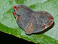 Leafhopper (Ricaniidae) (15616707655).jpg