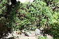 Leaves of Juniperus virginiana.jpg