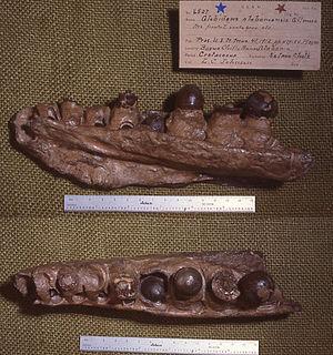 Globidens - Holotype maxilla (USNM 6527.jpg) of G. alabamaensis