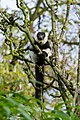 Lemur (26773300279).jpg