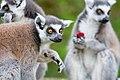 Lemur (36559499091).jpg