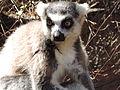 Lemur catta, Madagascar, 2013.JPG