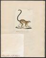 Lemur collaris - 1829-1867 - Print - Iconographia Zoologica - Special Collections University of Amsterdam - UBA01 IZ19700051.tif
