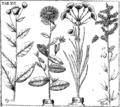 Leonardi Plukenetii phytographia Fleuron T100915-18.png