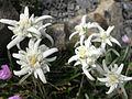 Leontopodium alpinum 'Mignon' 2.jpg