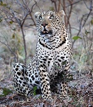 A female leopard in Vumbura Plains, Botswana.