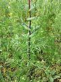 Lepidium perfoliatum sl18.jpg