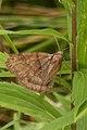 Lepidopteran - Guelph, Ontario 26.jpg