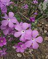 Leptodactylon californicum.jpg