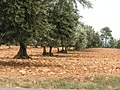 Les oliviers - panoramio.jpg